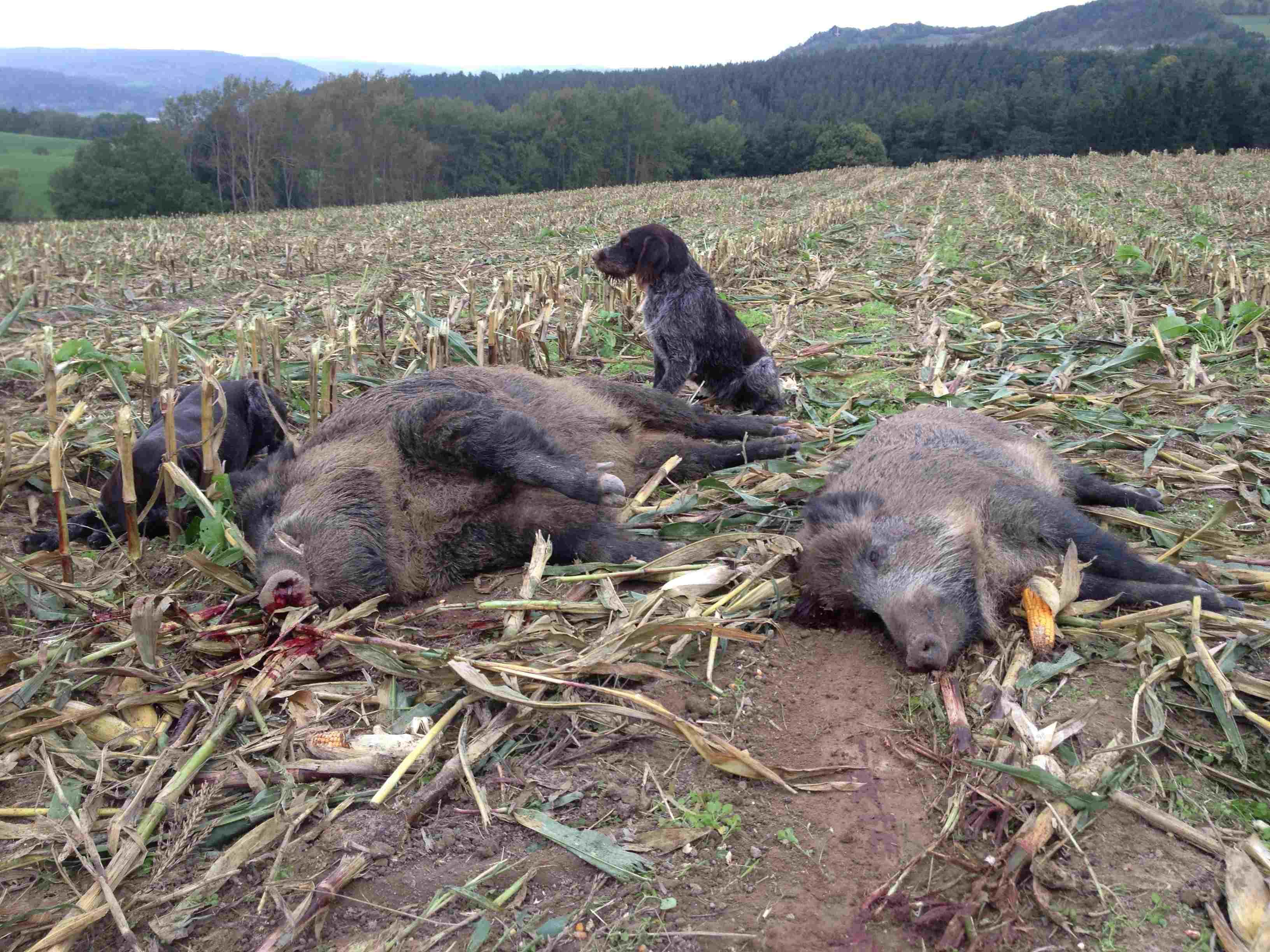 Conni vom Jachti Jolli vom Hopfenfeld 2014 - 6 ha Mais und 13 Sauen 127 kg sind nicht zuviel